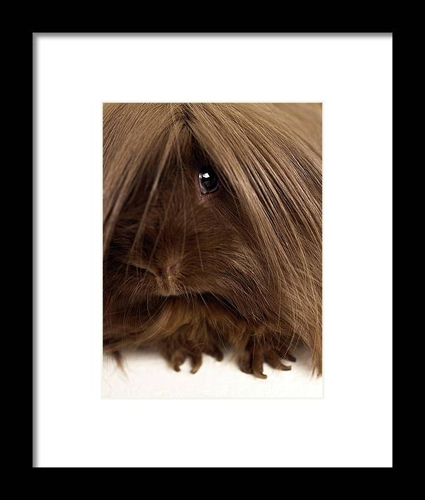 Pets Framed Print featuring the photograph Long Haired Guinea Pig, Close-up by Michael Blann