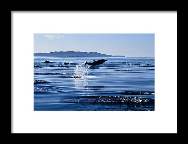 Latin America Framed Print featuring the photograph Long-nosed Common Dolphin,delphinus by Gerard Soury