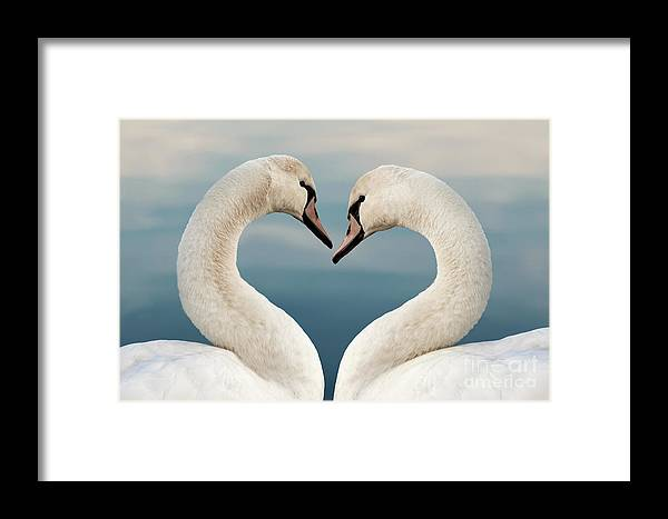 Love Framed Print featuring the photograph Love Swans by Delphimages Photo Creations