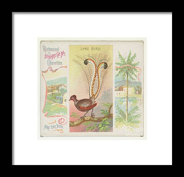 1880-1889 Framed Print featuring the drawing Lyre Bird by Heritage Images