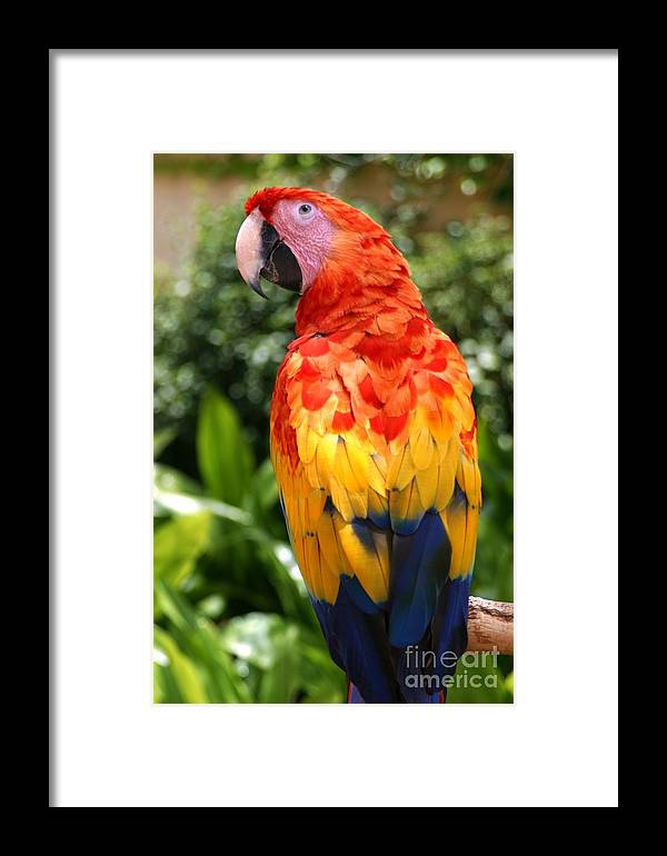Feather Framed Print featuring the photograph Macaw Sitting On A Branch by Paul Banton