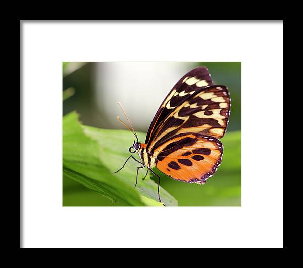 Flowerbed Framed Print featuring the photograph Macro Insect Common Tiger Glassywing by Elementalimaging
