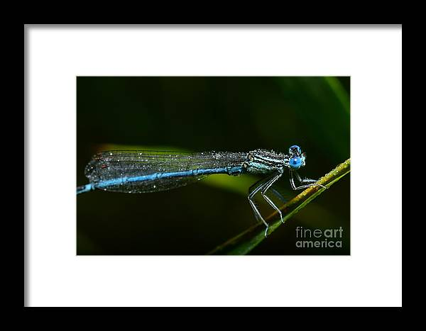 Dragonly Framed Print featuring the photograph Macro Photography Dragonfly by Igor Chus