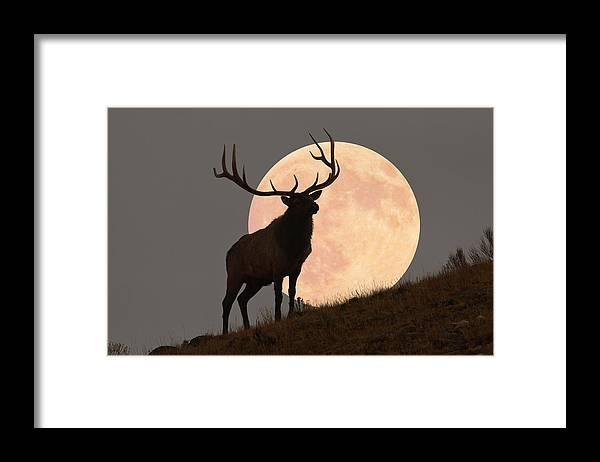 Horned Framed Print featuring the photograph Majestic Bull Elk And Full Moon Rise by Mark Miller Photos
