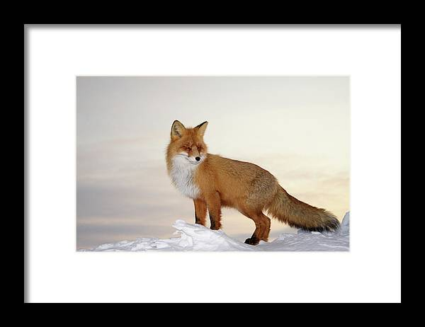 Black Color Framed Print featuring the photograph Majestic Fox by Dmitrynd