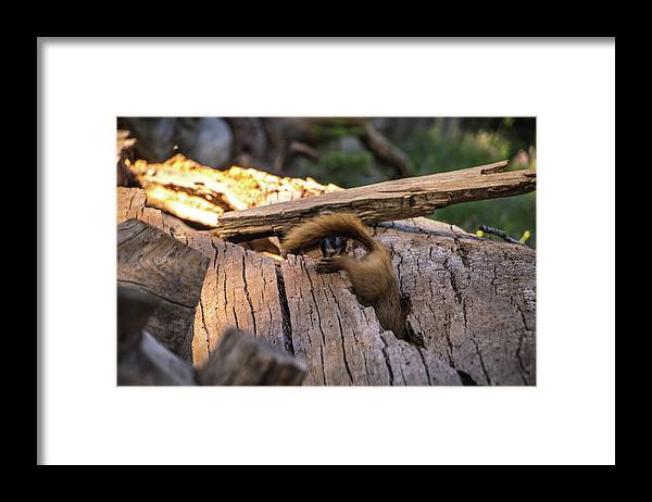 Marmot Framed Print featuring the photograph Marmot Escape by Carly Creley