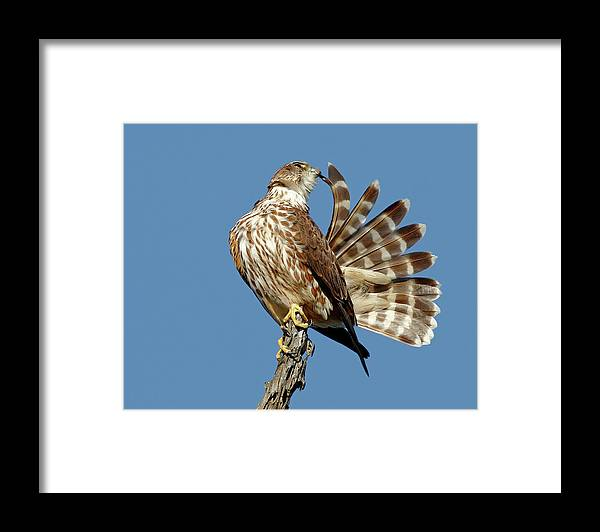 Animal Themes Framed Print featuring the photograph Merlins Grooming Session by Bmse