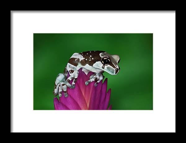 Animal Themes Framed Print featuring the photograph Milk Frog, Trachycephalus Resinifictrix by Adam Jones
