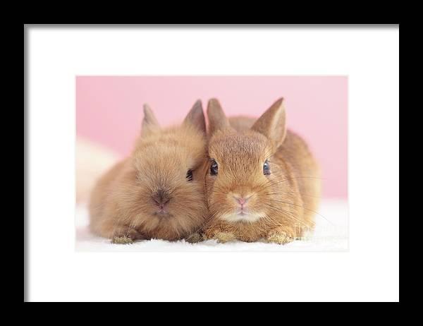 Pets Framed Print featuring the photograph Mini Rabbits by Shinya Sasaki/aflo
