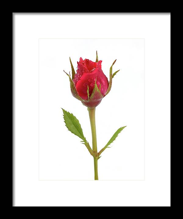 White Background Framed Print featuring the photograph Miniature Pink Rose Bud With Water by Rosemary Calvert