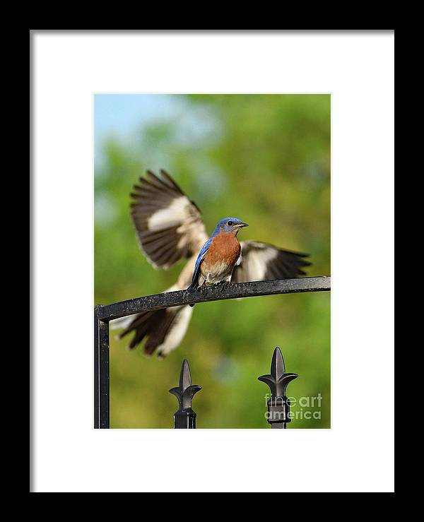 Eastern Bluebird Framed Print featuring the photograph Mocking Bluebird Photo Bomb by Cindy Treger