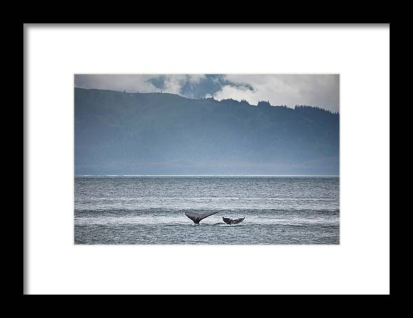Water's Edge Framed Print featuring the photograph Mother And Calf Whale Tails Megaptera by Blake Kent / Design Pics