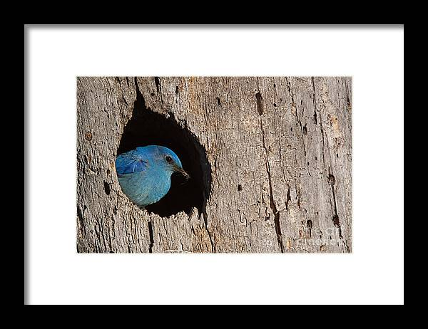 Mountains Framed Print featuring the photograph Mountain Bluebird Sialia Currucoides by Tom Reichner