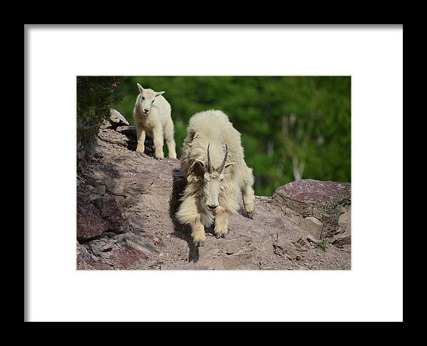 Mountain Goats Framed Print featuring the photograph Mountain Goats- Nanny And Kid by Whispering Peaks Photography