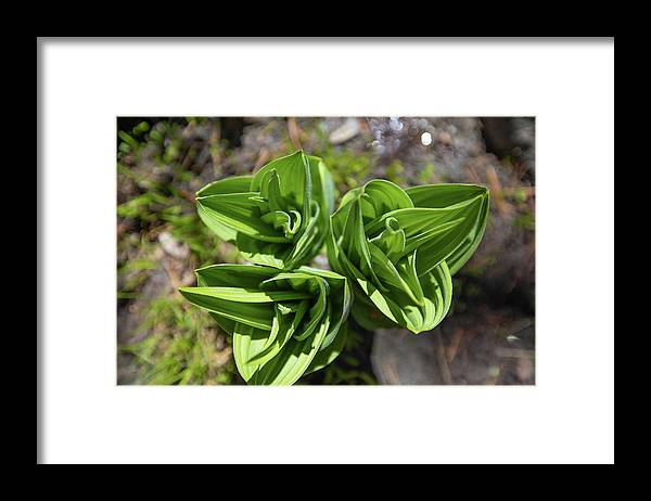 Tahoe Framed Print featuring the photograph California Corn Lily by Fred DeSousa