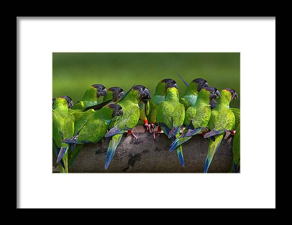 Vertebrate Framed Print featuring the photograph Nanday Parakeets Perched In A Row In by Mint Images - Art Wolfe