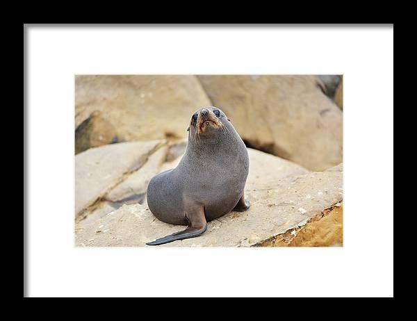 Alertness Framed Print featuring the photograph New Zealand Fur Seal, Arctocephalus by Raimund Linke