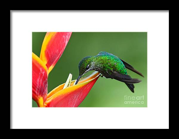 Small Framed Print featuring the photograph Nice Hummingbird Green-crowned by Ondrej Prosicky