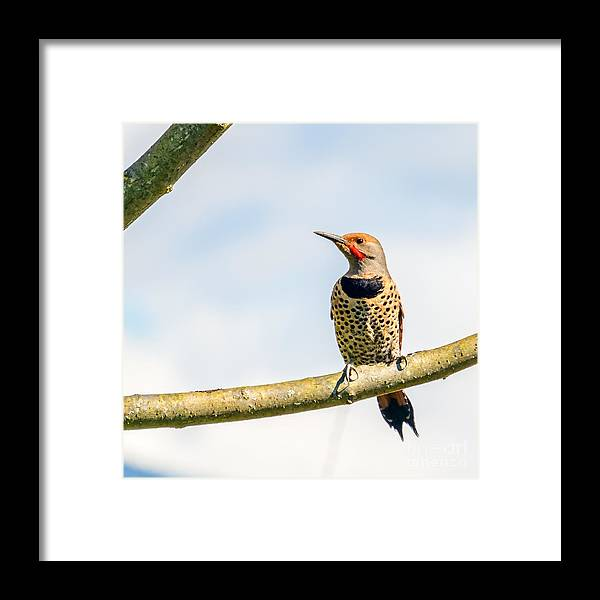 Plumage Framed Print featuring the photograph Northern Flicker, Colaptes Auratus by Karamysh