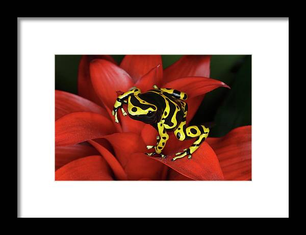 Animal Themes Framed Print featuring the photograph Orange Banded Dart Frog Dendrobates by Adam Jones