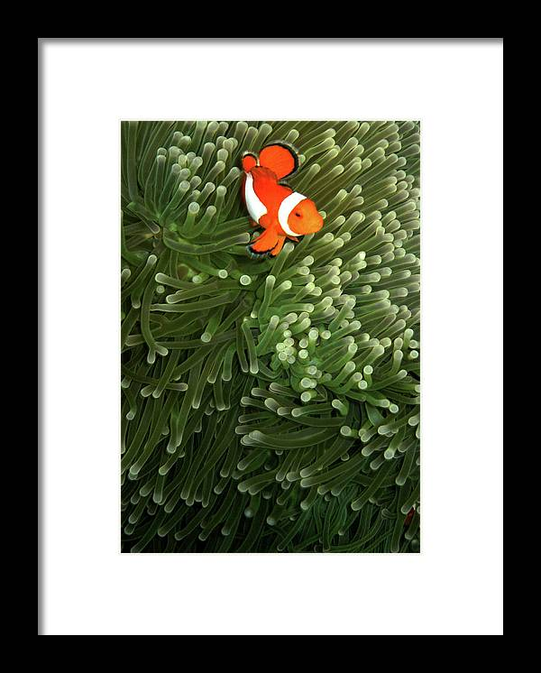 Underwater Framed Print featuring the photograph Orange Fish With Yellow Stripe by Perry L Aragon