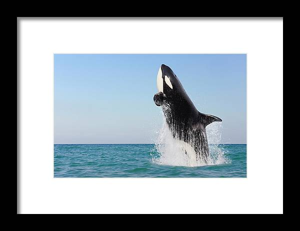 Three Quarter Length Framed Print featuring the photograph Orca Jumping Out Of Water by Martin Ruegner