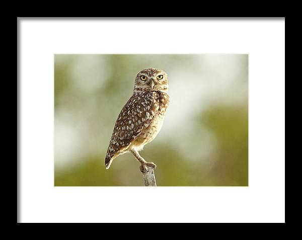 Pernambuco State Framed Print featuring the photograph Owl On Blurred Background by © Jackson Carvalho