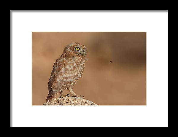 Owl Framed Print featuring the photograph Owl Vs Bee by Assaf Gavra