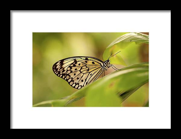 Natural Pattern Framed Print featuring the photograph Paper Kite Butterfly by Photos By Jay Bee