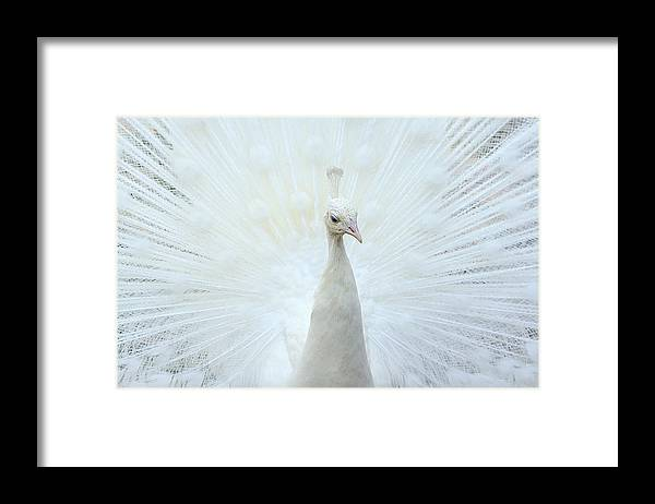 Indian Peafowl Framed Print featuring the photograph Pavone by Marco Pozzi Photographer