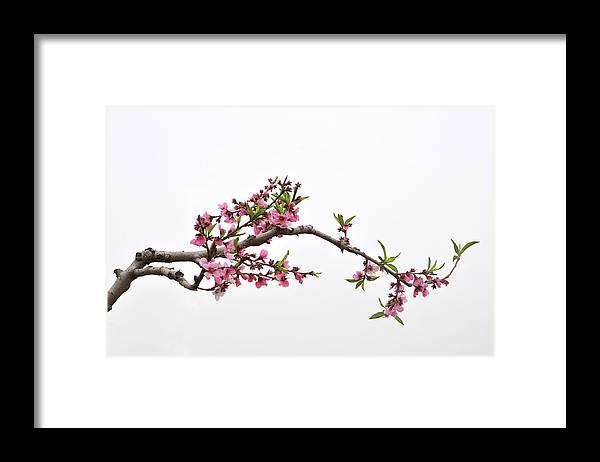 Season Framed Print featuring the photograph Peach by Sdlgzps
