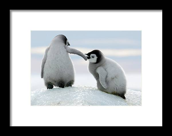 Snow Framed Print featuring the photograph Penguins by David Yarrow Photography