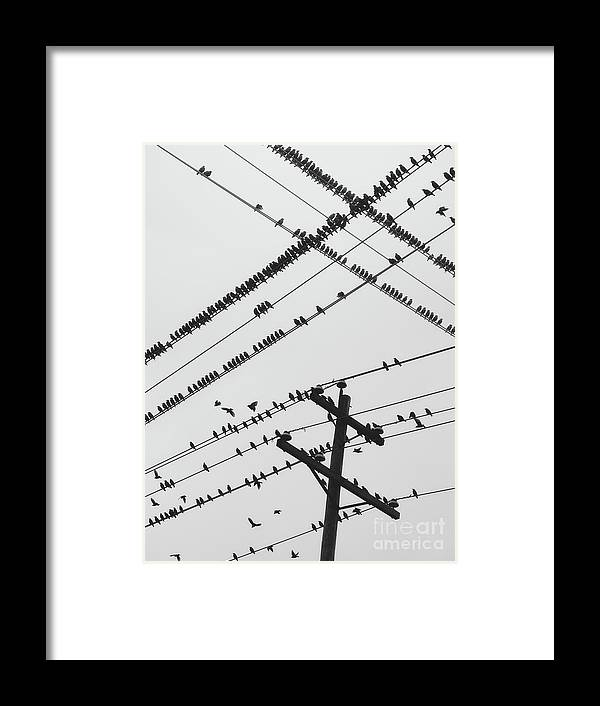 Crisscross Framed Print featuring the photograph Perched Murmuration by Shaunl