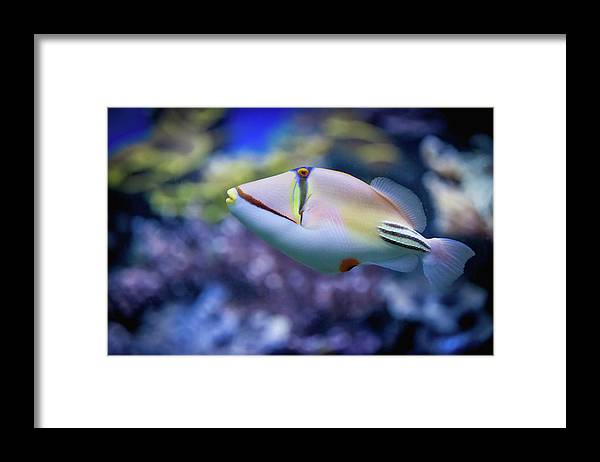 Underwater Framed Print featuring the photograph Picasso Triggerfish by Reynold Mainse / Design Pics