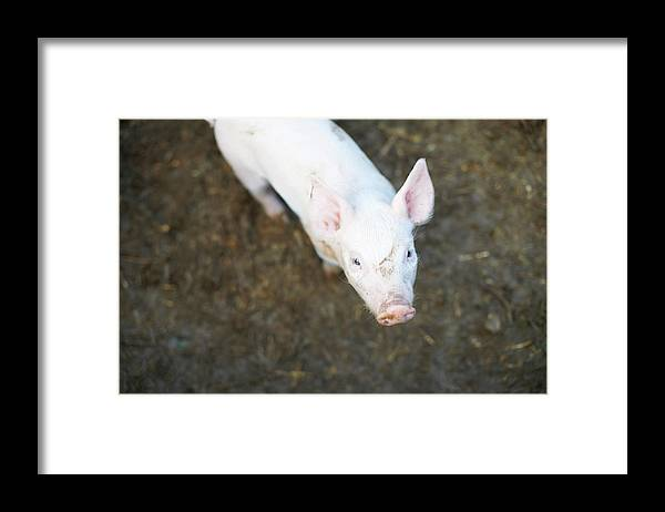 Pig Framed Print featuring the photograph Pig Standing In Dirt Field by Peter Muller