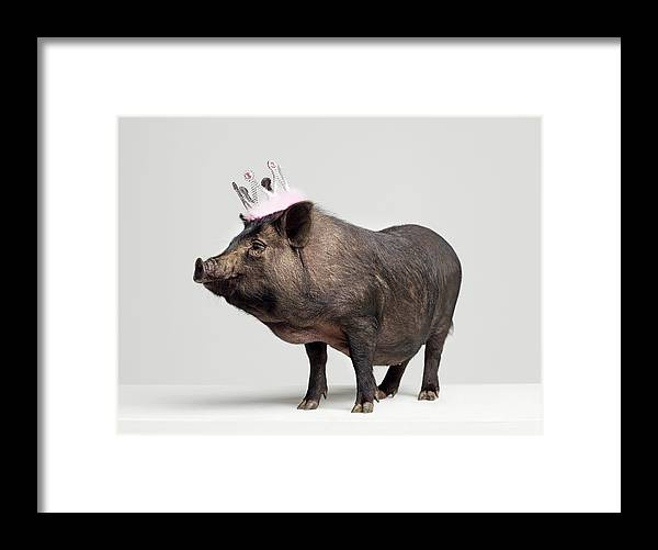 Crown Framed Print featuring the photograph Pig With Toy Crown On Head, Studio Shot by Roger Wright