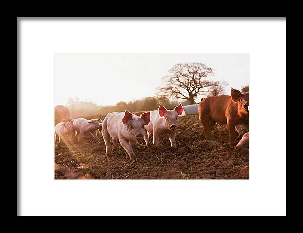 Pig Framed Print featuring the photograph Piglets In Barnyard by Jupiterimages