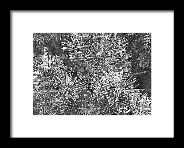 Needle Framed Print featuring the photograph Pine Cones And Needles, Close-up B&w by George Marks