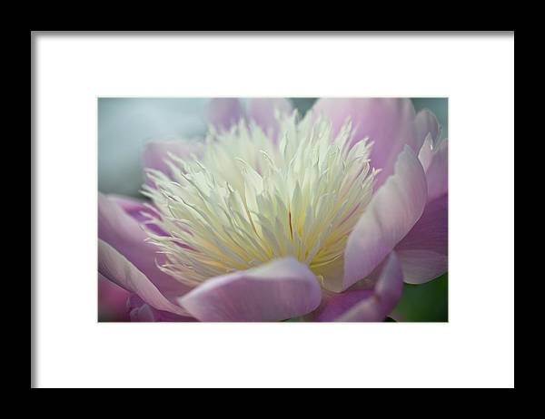 Toronto Framed Print featuring the photograph Pink And White Peony by Lynda Murtha