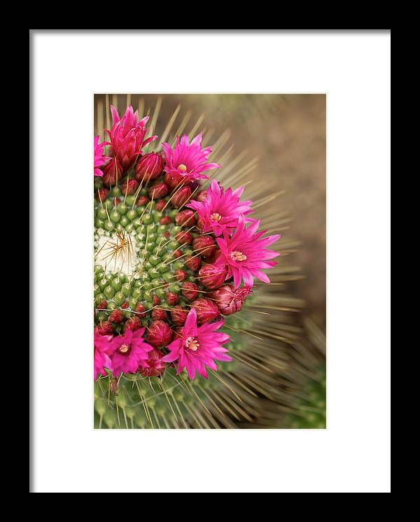 Bud Framed Print featuring the photograph Pink Cactus Flower In Full Bloom by Zepperwing