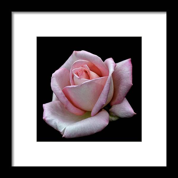 Part Of A Series Framed Print featuring the photograph Pink Rose by I Love Photo And Apple.