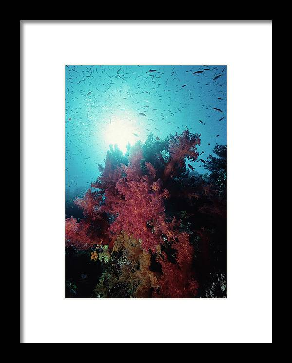 Underwater Framed Print featuring the photograph Pink Soft Coral And Anthias by Tammy616