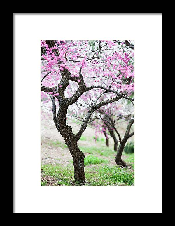 Scenics Framed Print featuring the photograph Plum Blossoms by Ooyoo