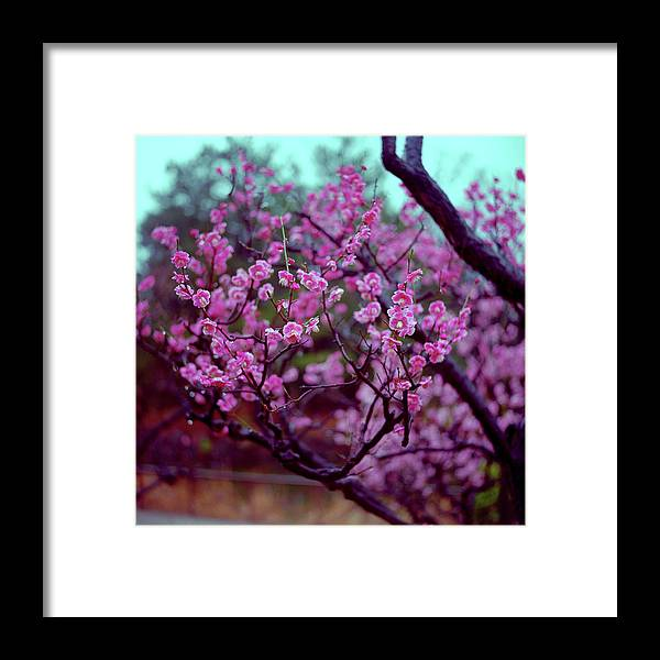 Plum Framed Print featuring the photograph Plums On Rainy Day In Japan by Mosbies