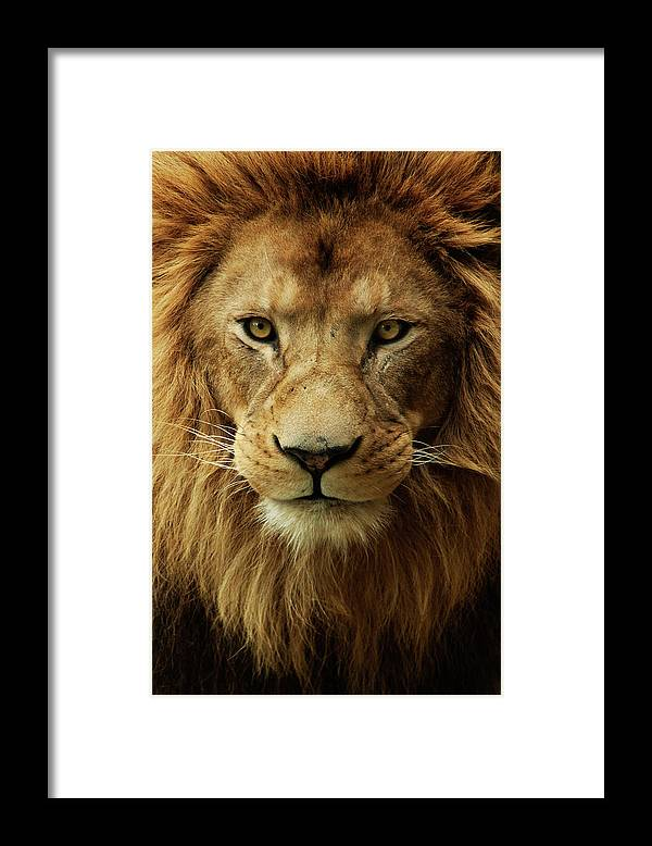 Animal Themes Framed Print featuring the photograph Portrait Male African Lion by Brit Finucci