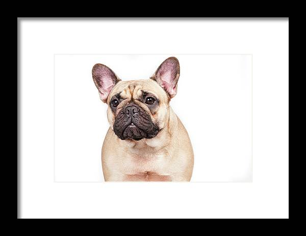 Pets Framed Print featuring the photograph Portrait Of A French Bulldog by @hans Surfer