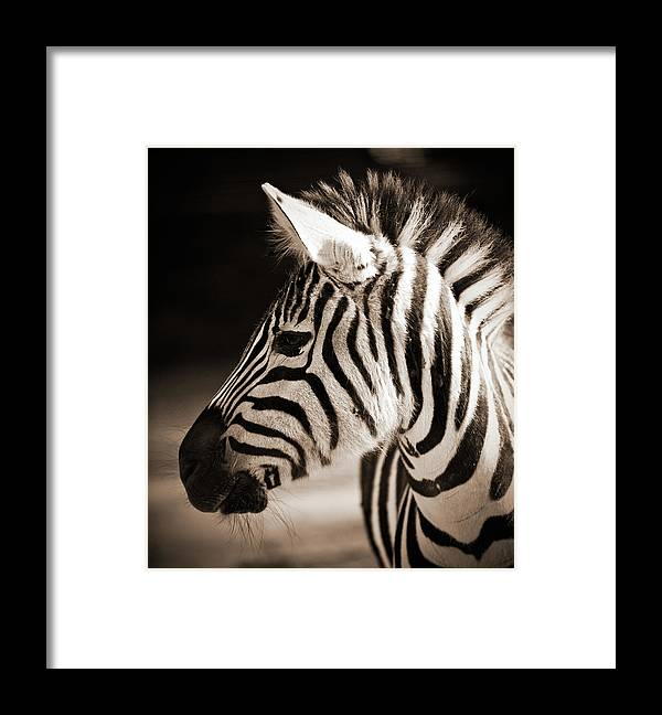 Black Color Framed Print featuring the photograph Portrait Of A Young Zebra by Cruphoto