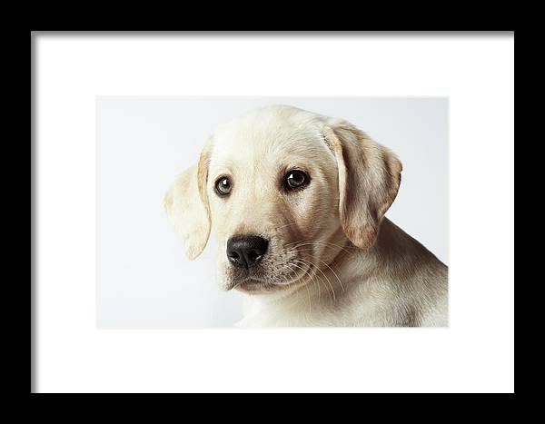 White Background Framed Print featuring the photograph Portrait Of Blond Labrador Retriever by Uwe Krejci