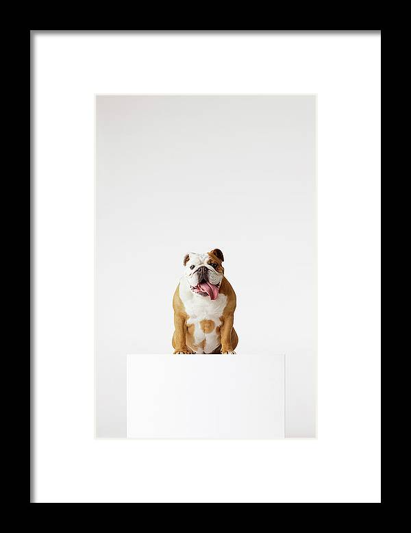 Pets Framed Print featuring the photograph Portrait Of British Bulldog Sitting by Compassionate Eye Foundation/david Leahy