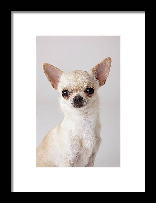 Pets Framed Print featuring the photograph Portrait Of Chihuahua by Compassionate Eye Foundation/david Leahy